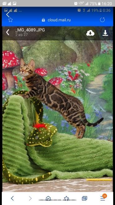 Шикарный новый помет. Высокопородные бенгальские котята. Сейчас