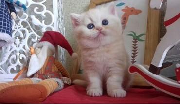 шотландская прямоухая в Азербайджан: Открыта бронь на чистокровных котят шотландской породы ( страйт и