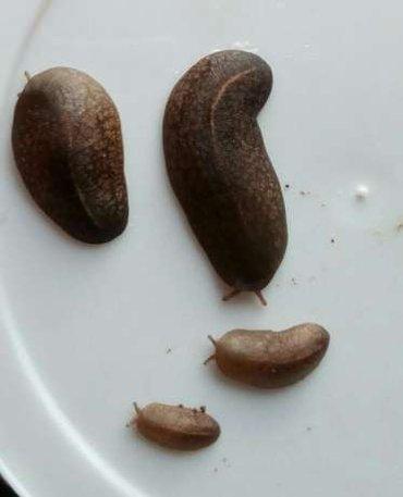 Черные мадагаскарские слизни.(Belocaulus angustipes).Малыши,пока в Бишкек
