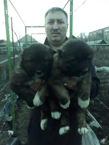 Щенки кавказской овчарки с в Лебединовка