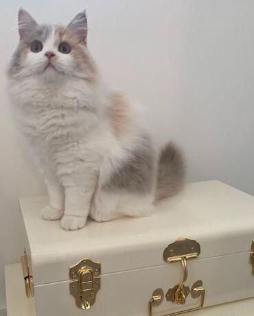 Βρετανικά γατάκια LonghairΈχουμε διαβάσει βρετανικά γατάκια
