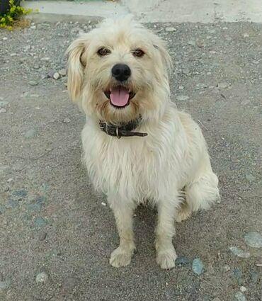 Находки, отдам даром - Кыргызстан: Внимание, пропала собака!!!(фото)в районе кызыл-аскера, ошского базара