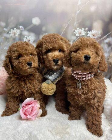 Αξιολάτρευτα κουτάβια poodle που ψάχνουν για πάντα σπίτια.Η μητέρα