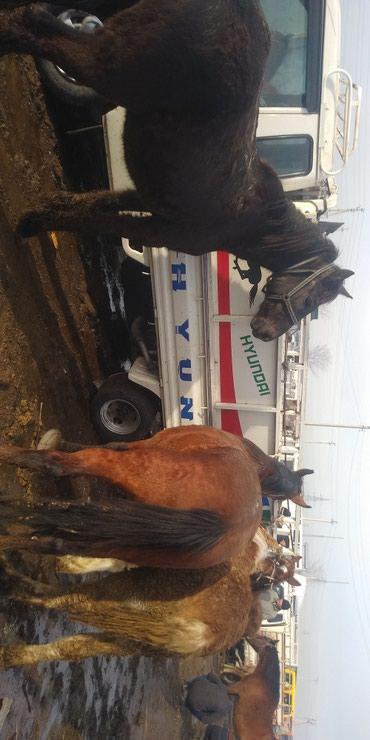 Продаю жирных лошадей и бычков в Бишкек