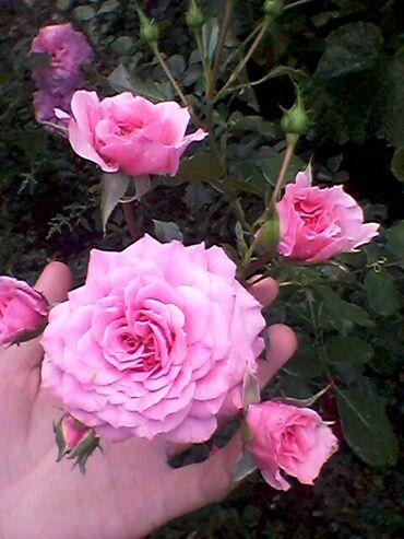 Комнатные растения - Беловодское: Продаются излишки роз . Беловодск