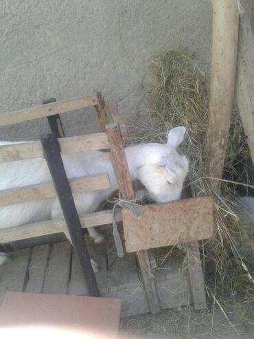 Животные - Узген: Продаю Козлят мартовские. Козочка и козлик. Коза 3-3,5 литра молока