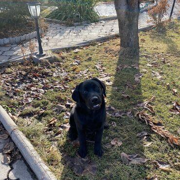 Животные - Кыргызстан: Продается щенок Лабрадора Ретривера из питомника, 7 месяцев, имеет все