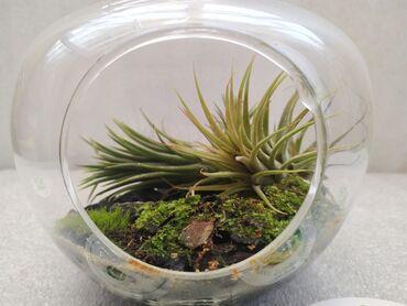 Bitkilər üçün dibçəklər - Azərbaycan: Флорариум.(Яблоко)Растение: 1)Атмосферные Тилландсии.2)Живой мох.Цена
