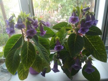 Продаются комнатные цветы тидея красивоми фииолетовами
