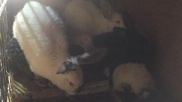 Хонор 9 х цена в бишкеке - Кыргызстан: Продаются крольчата Новозеланцы, Калифорнийцы и Великаны 2 х- 3 х