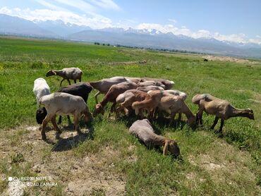 Животные - Михайловка: Бараны, овцы