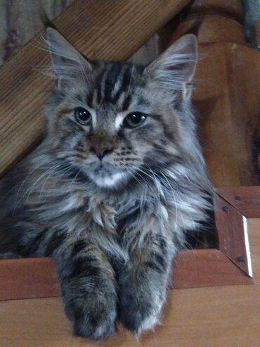 Продается кошка породы Мейн-кун. Все вопросы в личные сообщения