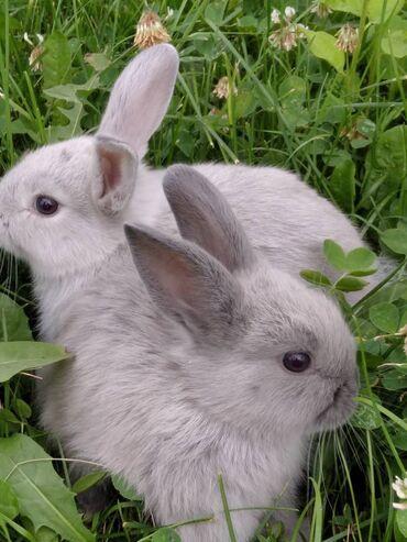 Декоративные кролики - Кыргызстан: Декоративные кролики  Порода миноры  Прививки сделаны  Кроликам по 30
