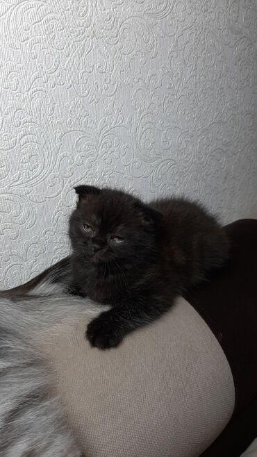 jubka na vysokoj posadke в Кыргызстан: Продаю шотландскую вислоухую кошку. К лотку приучена,1,5