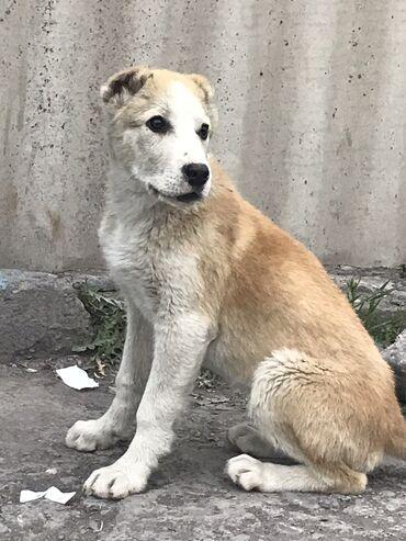 Собаки - Кыргызстан: Продаётся щенок ! Парода : чистокровный алабай🦮 3,5 месяца  Отец чемпи