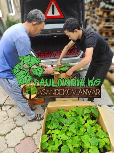 "Саженцы - Кыргызстан: Продаю семена, саженцы, черенки, однолетние корни павловния (""Чудо"