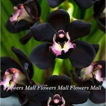 █▬█ █ ▀█▀ *** EXTRA PONUDA *** Crna Orhideja 100 semenke CENA:1000din