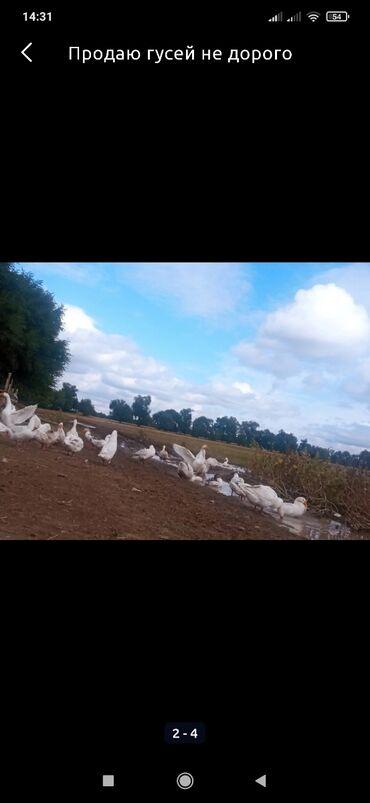 86 объявлений   ЖИВОТНЫЕ: Продаю гусей 6 месяцев
