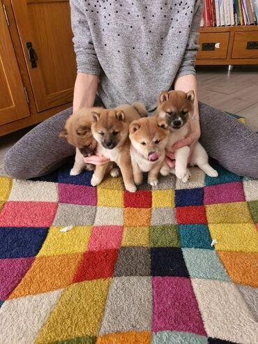Γιαπωνέζικα κουτάβια Shiba Inu προς πώλησηΙαπωνικά κουτάβια Shiba Inu
