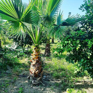 Vashington palma agacları. Qiymet üçün elaqe saxlayın
