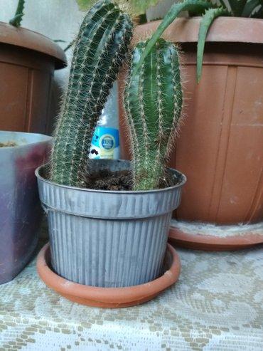 Bakı şəhərində Kaktus. Qiyməti 3 manat