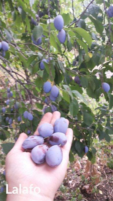 Xırdalan şəhərində Gavalı ağacları