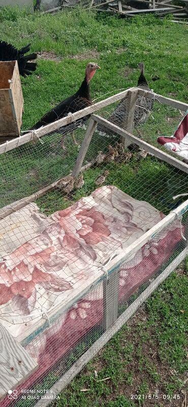 Животные - Красная Речка: Индюк с цеплятами