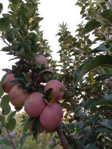 172 объявлений: Продам яблоко оптом