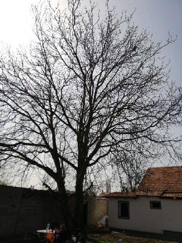Prodajem orah850e ispod cene ogromno drvo npvi beogradledine