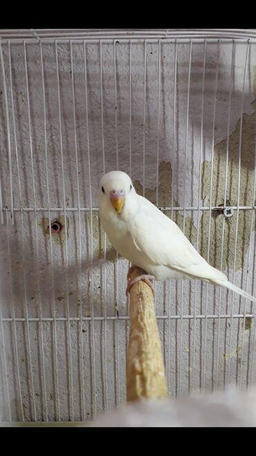papuqay - Azərbaycan: Bala Qara goz Albinos erkek papuqay