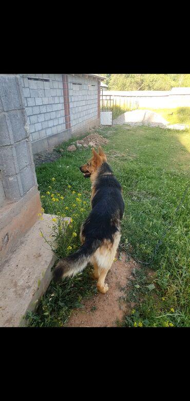 597 объявлений: Собаки