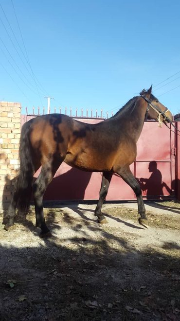 Лошади из России в Кант - фото 3