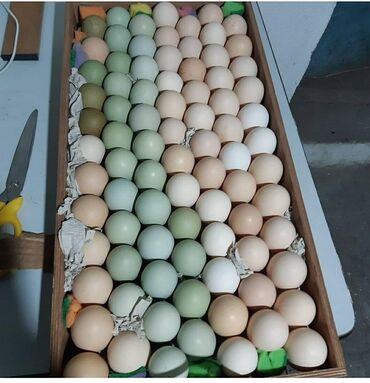 Инкубационное яйцо. Породистых кур фото прилагается. зеленое и шоколад