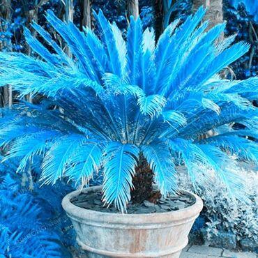 Kuća i bašta | Arandjelovac: Cena:550din/10 kom Plava Cicas, mini semenke Sago palme1. Izaberite