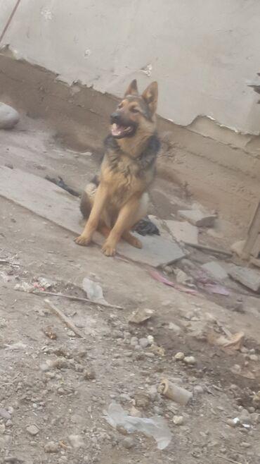 Животные - Кыргызстан: Собаки