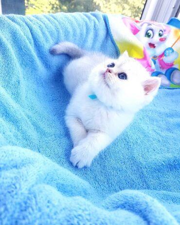 ΔΙΑΘΕΣΙΜΟ ΑΓΑΠΗ ΒΡΕΤΑΝΙΚΟ ΜΑΚΡΟΓΑΛΙΟΌμορφο κορίτσι. το γατάκι έρχεται