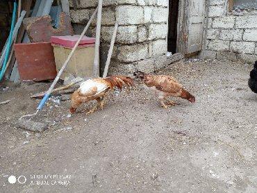 sumatra - Azərbaycan: Sumatra cütü yumurtlayır(barterde ederem təmiz brama xoruzu lazımdı )