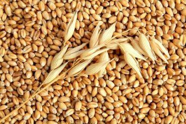 Купить бумагу а4 оптом - Кыргызстан: Куплю ячмень, кукурузу оптом с доставкой в Беловодск, цена договорная