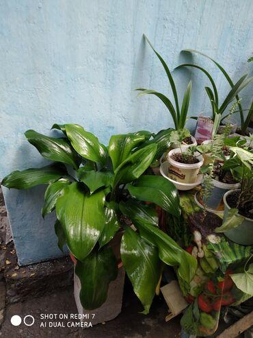 Дом и сад в Душанбе: Амазонка Лилия цена договорная