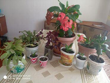 Продаю домашние цветы недорого:Молочай