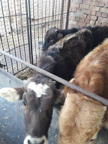 Продаю бычков. молодняк возраст 6.7 в Кант
