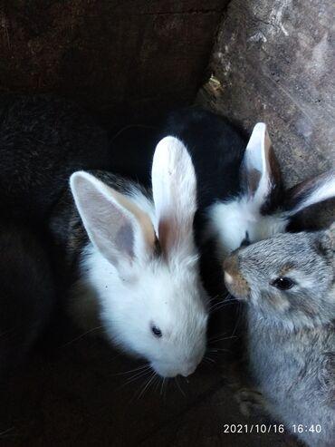 120 объявлений | ЖИВОТНЫЕ: Продаю | Крольчата | Фландр, Калифорнийская | На забой, Для разведения