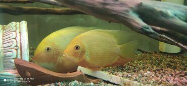 Аквариумы - Кыргызстан: Продаются аквариумные рыбки северум Красноточечный и рэдперл  Рыба кр