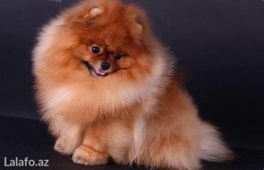 Bakı şəhərində Pomeranian shpic-750$dan başlayan qiymətlərlə... Bütün sənədləriylə bi