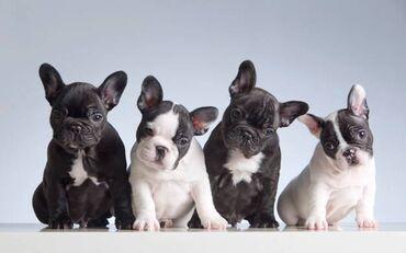 Πωλουνται κουταβακια French bulldog - γαλλικα μπουλντογκ με τα πρωτα