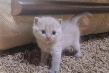 Продаётся котёнок Scotish Strike Длинношёрстный девочка