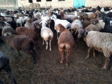 101 объявлений   ЖИВОТНЫЕ: Продаю   Овца (самка), Ягненок   Гиссарская, Арашан   На забой, Для разведения   Матка