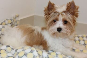 Yorkshire Terrier Puppies Girls and boys available. They have been che