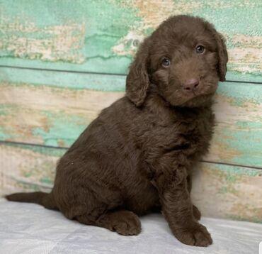 Για σκύλους - Αθήνα: Labradoodle puppies Potty trained, vaccinated and wormed, both genders