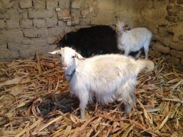 В связи с отъездом  продаются козы в Бишкек